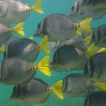 Yellow-tailed Surgeon fish
